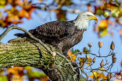 Lunch amid fall colors (danielusescanon) Tags: conowingo wild lunch fish eating baldeagle haliaeetusleucocephalus accipitridae accipitriformes tree leaves fall birdperfect animalplanet
