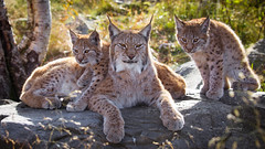 Eurasian lynx family (CecilieSonstebyPhotography) Tags: 4months 4monthsold canon canon5dmarkiii eurasianlynx eurasianlynxfamily gaupe langedrag lynx lynxcub lynxcubs lynxkittens markiii autumn bokeh cat catfamily closeup daughter daughters fall family familyportrait familytime lynxfamily mother october portrait rock sisters ngc specanimal npc