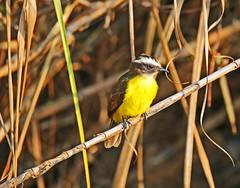 Social Flycatcher (vil.sandi) Tags: socialflycatcher rotscheitelmaskentyrann myiozetetessimilis flycatcher bird wildlife panama