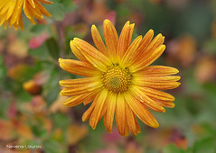 Nevena Uzurov - Autumn colors (Nevena Uzurov) Tags: petals yellow chrysanthemum floral autumn november nevenauzurov serbia cvet bokeh