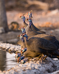 Namibia-85 (pommyboi) Tags: 200500 2016 andersonscamp d7200 namibia nikon guineafowl