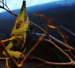 Cody the Chameleon (Bradley Moon) Tags: chameleon animals nature