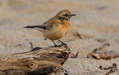 DSC5382 Desert Wheatear.. (jefflack Wildlife&Nature) Tags: desertwheatear wheatear wheatears birds avian animal wildlife wildbirds countryside coastalbirds songbirds migrants nature