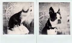 hold still, ivan (EllenJo) Tags: impossibleproject theimpossibleproject november2016 ellenjo bw blackandwhite sx70 polaroid instantfilm ellenjoroberts dog pet bostonterrier ivan olddog age12