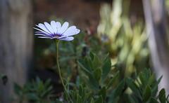 White flower (elrayman210) Tags: flower flor planta nikond3300 50mm18 nikon