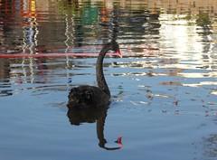1 December 2016 Dawlish (21) (togetherthroughlife) Tags: 2016 december dawlish swan bird blackswan devon