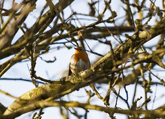 Robin Perched