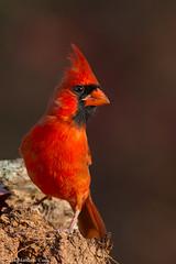 Northern Cardinal (Matt Cuda - www.mattcuda.com) Tags: cardinal northerncardinal beautiful beauty bird birding birds crest forsythcounty male nc red statebird vertical young