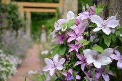 Sunnymeade 4 (PhotosbyDi) Tags: clematis flowers vine garden sunnymeade opengarden strathbogie nikond600 dof blur nikonf355628300mmlens bokeh