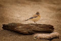 Oenanthe deserti (Nickerzzzzz - Thanks for stopping by :)) Tags: nickudy nickerzzzzz canoneos70d ef100400mmf4556lisiiusm desertwheatear oenanthedeserti scarce bird wildlife thurlestone devon sand rock