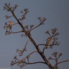 Huppe fascie - Upupa epops - Eurasian hoopoe (patricia.hoedts) Tags: espagne catalogne aiguamolls parcnaturaldelsaiguamollsdelemporda huppefascie upupaepops eurasianhoopoe bird oiseau canon canon6d sigma sigma150600contemporary