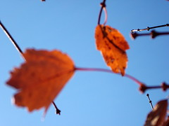 Blurred Leaves And Blue Sky. (dccradio) Tags: lumberton nc northcarolina robesoncounty outdoors outside morning blur blurred blurry bluesky sky leaves branches sticks autumn fall foliage tree