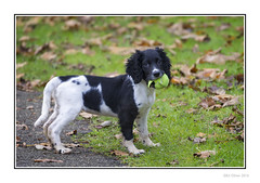 Our Little Lass Bonnie (Seven_Wishes) Tags: newcastleupontyne elswickpark autumn autumnal leaves dof depthoffield pet dog spaniel springerspaniel englishspringerspaniel animal puppy blackandwhite ball tennisball canoneos1dmarkiv canonef100400mmf4556lisii jo outdoor photoborder petportrait