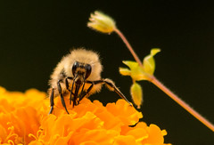 Sweet Delight (WoodlandsPhotography) Tags: honeybee flower macro pollination bee marigold nature blossoms insect summer yellow black spring flowers bees honeybees insects blossom pollinate garden animal closeup outdoor outdoors plant plants natural collect beautiful floral up close wild worker wildlife wing wings workers leaves feeding gathering gather small alone flora standingup stand background winged bloom blooms marilynwilson