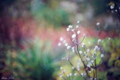 Like snowballs (lichtspuren) Tags: autumn herbst sptherbst snowballs schneeblle pflanze plant bokeh canon fd 50mm f14 ssc sony a7