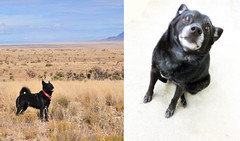 Inu Today and Eight Years Ago Today (garlandcannon) Tags: eightyears dogovereightyears odc blackdog oteromesa olddog milestone inu