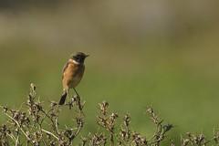 tarier patre (frederic.laroche6) Tags: tarier patre oiseau bird crau provence nikon d7100 nikkor 200 500 f56 14