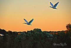 Dual Glowing Ibis (Eyes Open To Life) Tags: ibis birds flying sunset nature florida