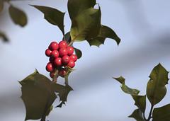 English Holly_1900 (Mike Head - Jetwashphotos) Tags: holly englishholly ilexaquifolium bright cheerful colourful autumn latewinter season westhamisland ladner southdelta delta bc britishcolumbia canada westerncanada westernregion