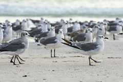 DSC_0121 (akNY) Tags: seagulls gulls beach flock colony depthoffield