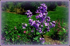 Rejoicing at May (Irina Kiseleva) Tags: nature flower composition shadow sun color red green black grass tree photoborder plant brooklyn ny garden 1001nights purple