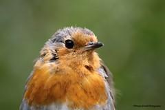 Portrait Of A Scruffy Robin (Rowan Westall) Tags: red robin garden dad scruffy