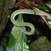 Bornean Keeled Pit Viper