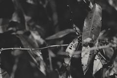 #leafs (Teo_tea) Tags: leafs