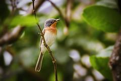 Leaden Flycatcher (Female) (Matt D Marshall) Tags: female queensland cairns flycatcher leaden
