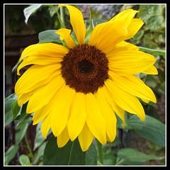 Tournesol (DavidB1977) Tags: france fleur fuji iledefrance tournesol x10 yvelines magnyleshameaux