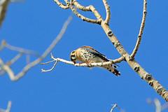 American Kestrel, Orchard City, Delta, Colorado (Terathopius) Tags: colorado americankestrel falcosparverius deltacounty orchardcity falcosparveriussparverius fruitgrowersreservoir