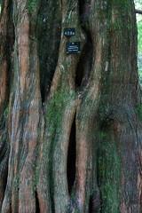 Stourhead House, Stourton, near Mere, Wiltshire (Alwyn Ladell) Tags: stourhead wiltshire nationaltrust mere stourton dawnredwood metasequoiaglyptostroboides stourheadgardens stourheadhouse ba126qf