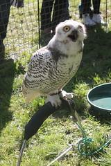 Snowy Owl (alexanderwhit19) Tags: festival forrest snowy owl prey guisborough