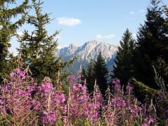Panorama fiorito -  Dolomiti 2015 (audiogab) Tags: snow mountains forest montagne lago neve hood fiori alto tyrol dolomiti bois sud bolzano bosco tirolo passo adige dolomiten dobbiaco abeti anterselva stalle