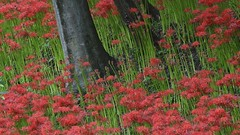 cluster amaryllis (ashmoca) Tags: red flower green spider lily cluster amaryllis stalk redspiderlily
