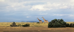 African landscape with giraffe - on the road to Arusha, Tanzania, 1977. (edk7) Tags: africa nature animal landscape tanzania mammal african wildlife vista giraffe savannah 1977 ungulate eastafrica eventoed giraffacamelopardalistippelskirchi giraffacamelopardalis masaigiraffe kilimanjarogiraffe edk7 nikonnikkormatft2kodachromeslide