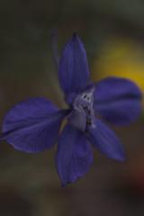 De las platabandas (Mar Cifuentes) Tags: macromondays mysterious flower flowers flor flores fleur light landscape park music garden new color purple