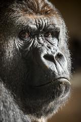 2015-11-12-11h11m29.BL7R9622 (A.J. Haverkamp) Tags: zoo rotterdam blijdorp gorilla dierentuin diergaardeblijdorp westelijkelaaglandgorilla bokito httpwwwdiergaardeblijdorpnl canonef100400mmf4556lisusmlens dob14031996 pobberlingermany
