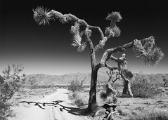 Outstretched Arms (ShutterJack) Tags: california cactus blackandwhite southwest west tree america nationalpark nikon desert joshuatree dry openspace arid rugged jameshale jimhale shutterjack