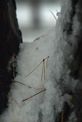 Needles On the Snow (melleus) Tags: park winter snow storm cold nature closeup pine outdoors cool d200 imagemagick dcraw
