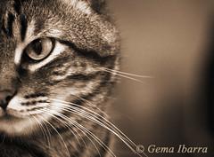 Portrait of tabby cat Gema Ibarra (GemaIbarra1) Tags: portrait pets cute animal dark mammal kitten feline looking tabby small gray fluffy whisker pussycat domesticcat sidewaysglance yelloweyed oneanimal pedigreed humanface purebredcat animaleye blackcolor