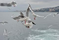 Feeding frenzy (orientalizing) Tags: adalar birds blackheadedgull feedingfrenzy feedingthebirds gulls istanbul princesislands seagulls simit turkey