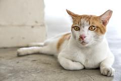 160928 - Portrait (y_leong23) Tags: cat dlux