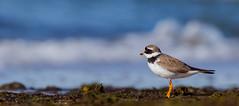 IMG_3951 (Simonas Minkeviius) Tags: charadriushiaticula ringedplover juodkrant curonianspit shorebird bird wader seashore