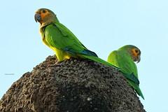 Brown-throated Parakeets (Kamal50) Tags: aves avifauna birding bird beautiful beak background blue bokeh caribbean canon canoneos7dmarkii countryside nature westindies wildlife wings wild wonder