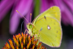 an eastern pale clouded yellow butterfly, Colias erate, on a Echinacea flower (Yunhyok Choi) Tags: echinacea pentax pentaxk3 antenna butterfly closeup compoundeyes insect nature nectar pistil stamen wing seoul southkorea kr