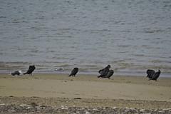 Cormorant (mike_j's photos) Tags: spurn head point humberside humber river northsea ywt yorkshirewildlifetrust