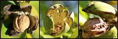 OKKERNOTEN || WALNOTEN || WALNUTS || WALNSSE || NOCI || NOZES || NUECES || NOIX (Anne-Miek Bibbe) Tags: canoneos700d canoneosrebelt5idslr annemiekbibbe bibbe nederland 2016 tuin garden jardin giardino jardim natuur nature moestuin vegetablegarden giardinodiverdure jardinpotager gemsegarten horta walnoten walnuts walnsse noci nozes nueces noix okkernoot okkernoten juglansregia