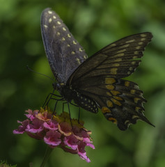 Butterfly_SAF2764 (sara97) Tags: missouri nature outdoors photobysaraannefinke saintlouis butterfly flyinginsect insect pollinator copyright2016saraannefinke