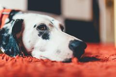 Relentless (Leo Hidalgo (@yompyz)) Tags: canon eos 6d dslr reflex yompyz ileohidalgo fotografa photography vsco mlaga perro dog animal dalmatian dlmata